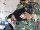 泰安哪有德国牧羊犬卖 泰安德国牧羊犬价格 德国牧羊犬多少钱