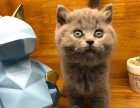 武汉猫舍CFA纯种英国血统英短蓝猫