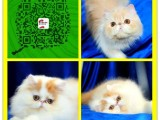 北京猫舍一CFA猫舍一直销布偶猫加菲猫英短美短折耳蓝猫等名猫