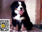 哪里有卖伯恩犬伯恩犬多少钱伯恩犬图片伯恩犬幼犬