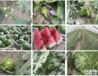 初夏 上海农家乐哪里好玩 南汇采西瓜摘桑葚番茄 钓龙虾划船