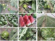 春末夏初 上海农家乐哪里好玩 南汇采西瓜摘草莓 钓龙虾