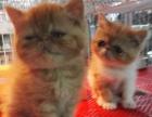 5月5号出生的加菲猫,非常可爱!