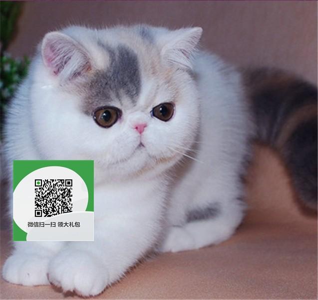 镇江哪里卖加菲猫 加菲猫价格 加菲猫哪里有卖