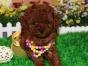 冠军后代双血统泰迪犬一窝 证书可查可以看狗父母