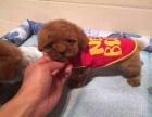 纯种茶杯犬泰迪幼犬 出售各色纯种泰迪幼犬 韩系玩具