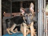 犬舍直销一德国牧羊犬一签协议一包养活