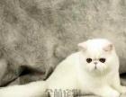 宠物猫咪活体 加菲幼猫加菲猫折耳猫英短猫蓝猫波斯猫