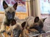 比利时纯种马犬 价格面仪
