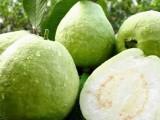 2021广州增城果蔬采摘乐园甜杨桃-番石榴38元水果采摘游