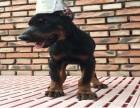 南京犬舍繁殖直销纯种德系杜宾幼犬宝宝 保纯种 健康