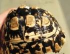 可爱乌龟批发几十种菜乌龟吃菜乌龟
