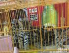亚洲豹猫中华豹猫孟加拉豹猫宠物猫幼猫