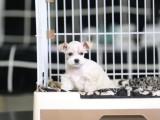 照片实物拍摄 疫苗驱虫做好 品质有保障雪纳瑞犬
