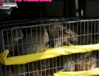 江西地区哪里有卖杂交野兔的