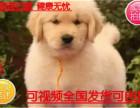 精品推荐纯种金毛幼犬 赛级金毛幼犬 活体
