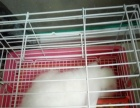 白色公折耳兔