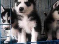 哈士奇幼犬纯种三把火蓝眼哈士奇西伯利亚雪橇犬活体宠物狗狗