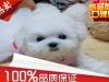 法国卷毛比熊幼犬出售
