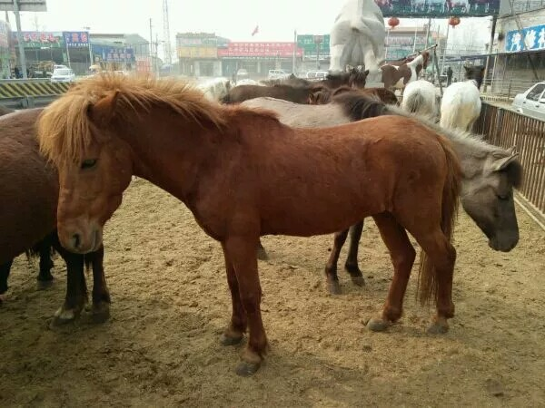 河北哪里有鸵鸟苗孔雀苗的价格黑天鹅养殖矮马出售