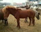 出售矮马骆驼羊驼等观赏动物鸵鸟苗孔雀苗的价格
