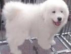 三亚纯种大白熊犬价格 三亚哪里能买到纯种大白熊