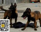 哪里有卖马犬马犬多少钱马犬图片马犬幼犬