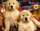 重庆泰迪价格昆明出售小体标准体茶杯体泰迪幼犬价格便宜