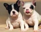华仕犬舍专业繁殖法国斗牛犬 纯种法斗包半年健康