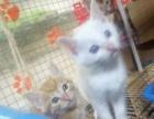 (南昌市内)超萌可爱小猫咪!请直接来实体店选购