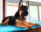 济南纯种德国牧羊犬价格 济南哪里能买到纯种德国牧羊犬