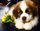 最长情的相伴 您的爱宠圣伯纳犬 给它一个温暖的家吧!