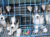 兰州哪有柯基犬卖 兰州柯基犬价格 兰州柯基犬多少钱