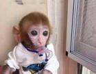 宠物猴,可爱袖珍猴