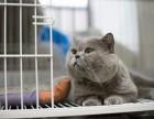 自家繁殖的高品质英短蓝猫幼崽接受预定