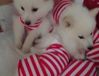 纯种日本尖嘴(银狐犬)出售公母都有