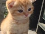 杭州南京苏州宁波布偶折耳波斯短毛猫哪里买 双飞猫