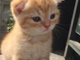上海广州深圳北京美短猫幼崽价格 搜:双飞猫