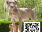微码猎犬纯正健康出售-幼犬出售,当地可以上门挑选