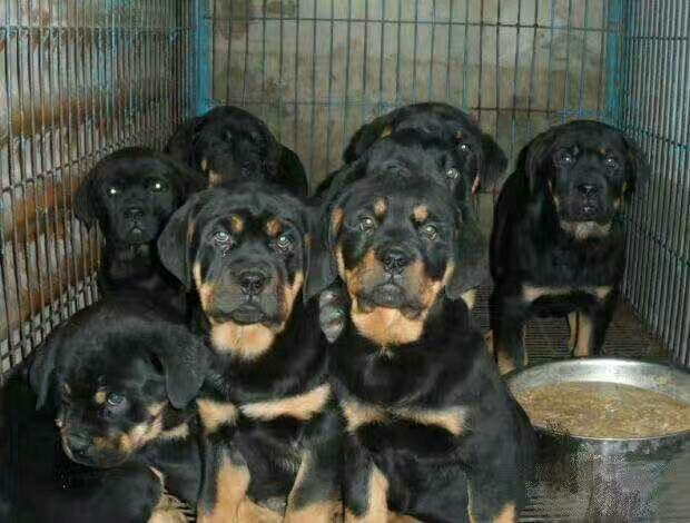 出售纯种马犬杜高犬格力犬比特犬卡斯罗犬罗威纳犬