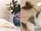 西安宠物 西安哪里的蓝猫较便宜 纯种蓝猫一般卖多少钱一只