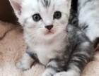 苏州哪里有美短猫虎斑加白卖纯血统萌翻你的眼球 品质保障