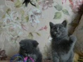 英国短毛猫 纯种英短蓝猫折耳猫幼猫活体英短折耳蓝猫