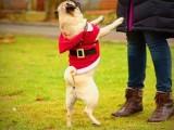 武汉洪山承接各种宠物犬不良行为矫正
