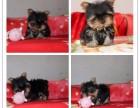 全年 一至今最畅销 约克夏幼犬 好品质 有保障