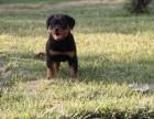 汕头纯种罗威纳价格 汕头哪里能买到纯种罗威纳犬