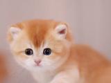 美短虎斑猫幼崽纯种美短猫