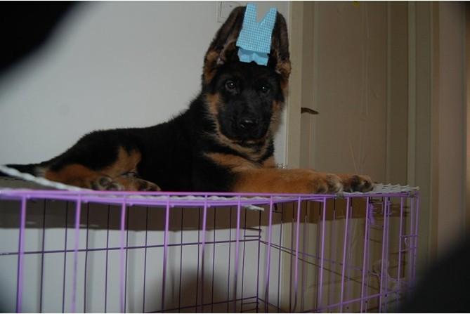 完美的你,身边还差一只德国牧羊犬来相伴,从此不再孤单