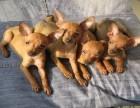 小鹿犬 常年销售 包细小犬瘟冠状 包防疫包纯种