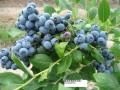 大量出售红莓果苗蓝莓苗双季树莓苗紫莓苗不老莓苗覆盆子苗